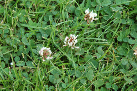 how to kill clover in lawns uk