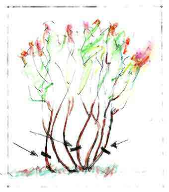 Pruning viburnum deciduous and evergreen diagram of 1 in 3 pruning ccuart Images