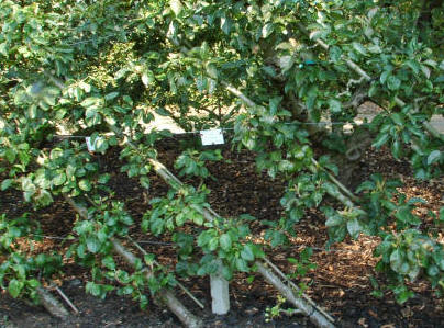 Growing Apple Trees As Cordons Advice Information How To
