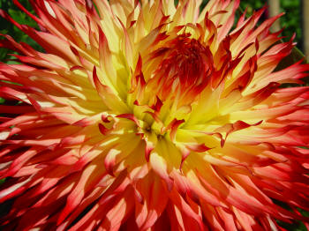 Multi coloured Dahlia cactuis type