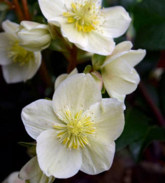 Christmas Rose flower group