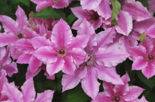 Cluster of pink flowers on Clematis Ooh la la