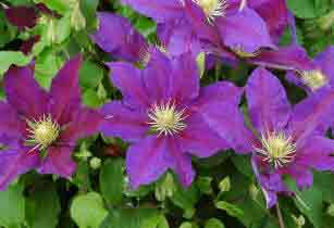 Flowers of Clematis vagabond