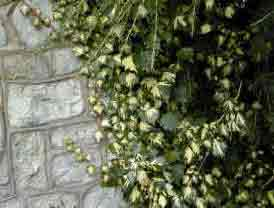 Hedera helix Goldheart or gold Heart. Foliage against grey stone wall