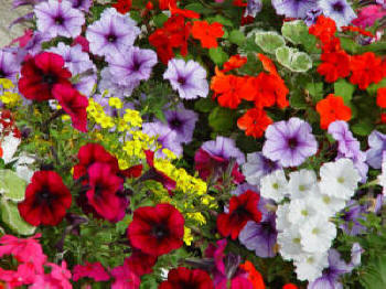 Mixed Summer Bedding Plants