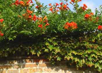 Trumpet Vine on top of wall