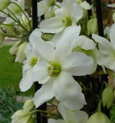 Clematis armandii - the evergreen Clematis