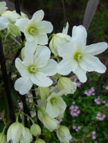 Clematis Armandii - white fllowers