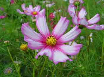 Cosmos pink and white flowers