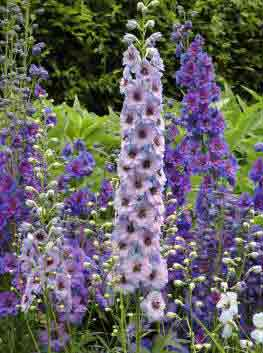 Delphinium Cluster of spikes