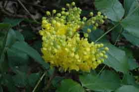 Mahonia Apollo - Yellow flowers and evergreen foliage