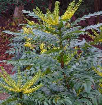 Mahonia x media Faith