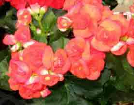 Begonia Elatior Indoors Begonia Plant Care Advice
