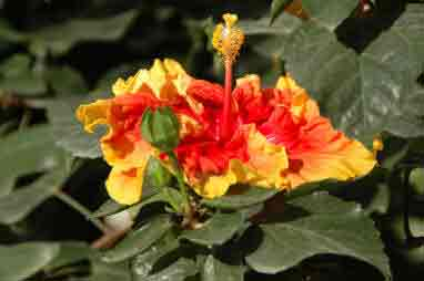 Hibiscus Rosa Sinensis How To Care Indoors