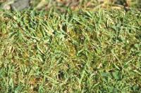 Ribwort weed or narrow plantain