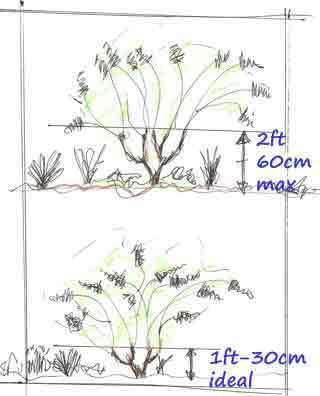 Pruning Hydrangea Paniculata And Arborescens