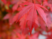 Acer palmatum Atropurpureum single leaf of autumn colour