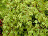 Acer palmatum - japanese Maple light green foliage