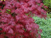Cut leaf Japanese Maple - Acer dissectum