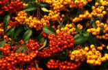 Two brightly coloured Pyracantha Firethorns - Orange Charmer and Golden Charmer