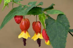 Abutilons Growing Pruning Propagation And Problems