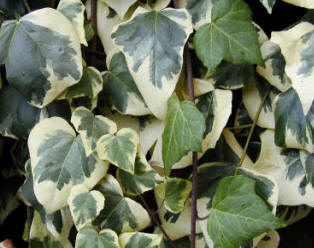 Variegated Ivy - whilst an ornamental plant - can also be invasive, so steps are